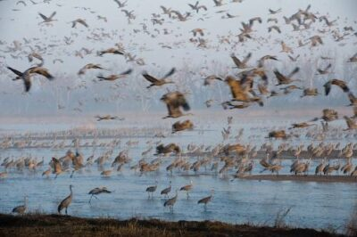 Thousands of sandhill cranes (Grus canadensis) roost on the Platte River during their annual migratory stopover at the Rowe Audubon Sanctuary near Gibbon, NE. With water in the river fully appropriated for urban areas and agriculture, many wonder how long it will be until the river runs dry. Some 600,000 to 800,000 cranes use just a few miles of the river in central Nebraska--areas that have been been mechanically cleared of the woody vegetation that the birds can't tolerate.