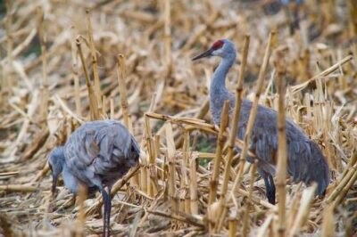 Two Sandhill cranes (Grus canadensis) feed on waste grain in near the Rowe Audubon Sanctuary in Gibbon, Nebraska.