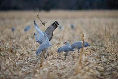 Sandhill cranes (Grus canadensis) feed on waste grain near the Rowe Audubon Sanctuary in Gibbon, Nebraska.