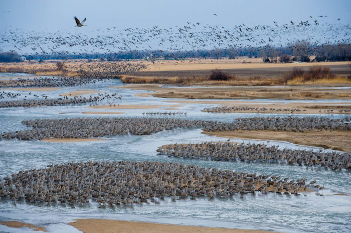 Thousands of sandhill cranes (Grus canadensis) roost on the Platte River, forming living sandbars, during their annual migratory stopover at the Rowe Audubon Sanctuary near Gibbon, NE. With water in the river fully appropriated for urban areas and agriculture, many wonder how long it will be until the river runs dry. Some 600,000 to 800,000 cranes use just a few miles of the river in central Nebraska--areas that have been been mechanically cleared of the woody vegetation that the birds can't tolerate.