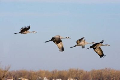 Sandhill cranes (Grus canadensis) in flight over the Platte River near the Rowe Audubon Sanctuary in Gibbon, Nebraska.