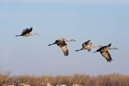 Sandhill cranes (Grus canadensis) in flight over the Platte River near the Rowe Audubon Sanctuary in Gibbon, Nebraska.