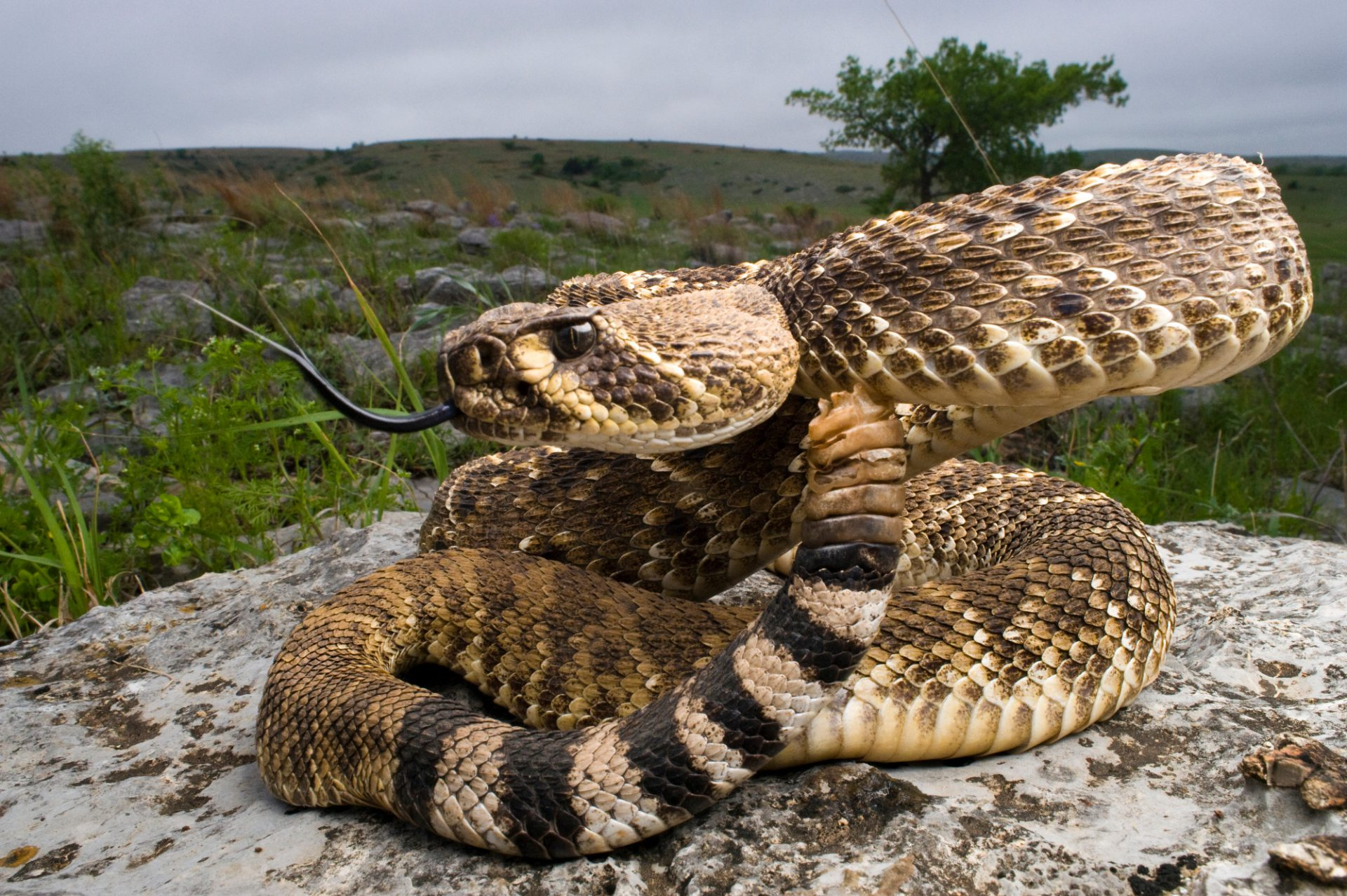 Photo: A western diamondback rattlesnake (Crotalus atrox) in the foothills of the Wichita Mountains in Oklahoma.