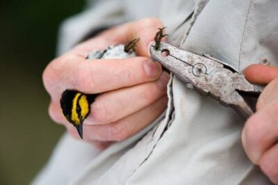 An endangered (IUCN and US) golden-cheeked warbler (Dendroica chrysoparia) caught in a mist net by scientists from the Nature Conservancy. Scientists net and band golden-cheeked warblers at Fort Hood in Killeen, Texas.
