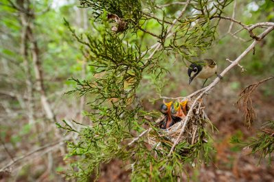Photo: A vulnerable black-capped vireo (Vireo atricapilla) at a nest in an Ashe juniper, Fort Hood, TX. Though at an active military base, this is a haven for this endangered species.