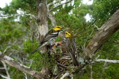 Endangered (US and IUCN) golden-cheeked warblers (Dendroica chrysoparia) Killeen, Texas.