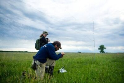 Biologists capture a male bobolink (Dolichonyx oryzivorus) near Wood River, Nebraska. They will put tiny geolocators, which track sun intensity as well as sunrise and sunset, the birds' backs. When the birds are recaptured (months from now) and the data is downloaded and used to calculate the birds' migratory route. The species winters in South America, but little is known of its specific route.