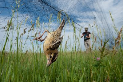 A female bobolink (Dolichonyx oryzivorus) is caught by biologists using a mist net, near Wood River, Nebraska. Avian ecologists trap and put tiny geolocators, which track sun intensity as well as sunrise and sunset, on male bobolinks. When the birds are recaptured (months from now) and the data is downloaded and used to calculate the birds' migratory route. The species winters in South America, but little is known of its specific route.