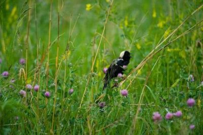 A male bobolink (Dolichonyx oryzivorus) near Wood River, Nebraska.