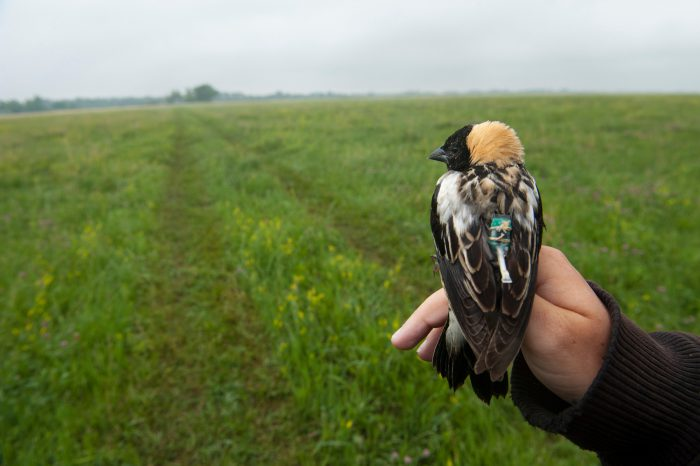 A biologist holds a male bobolink (Dolichonyx oryzivorus), captured for a study near Wood River, Nebraska. They will put tiny geolocators, which track sun intensity as well as sunrise and sunset, the birds' backs. When the birds are recaptured (months from now) and the data is downloaded and used to calculate the birds' migratory route. The species winters in South America, but little is known of its specific route.