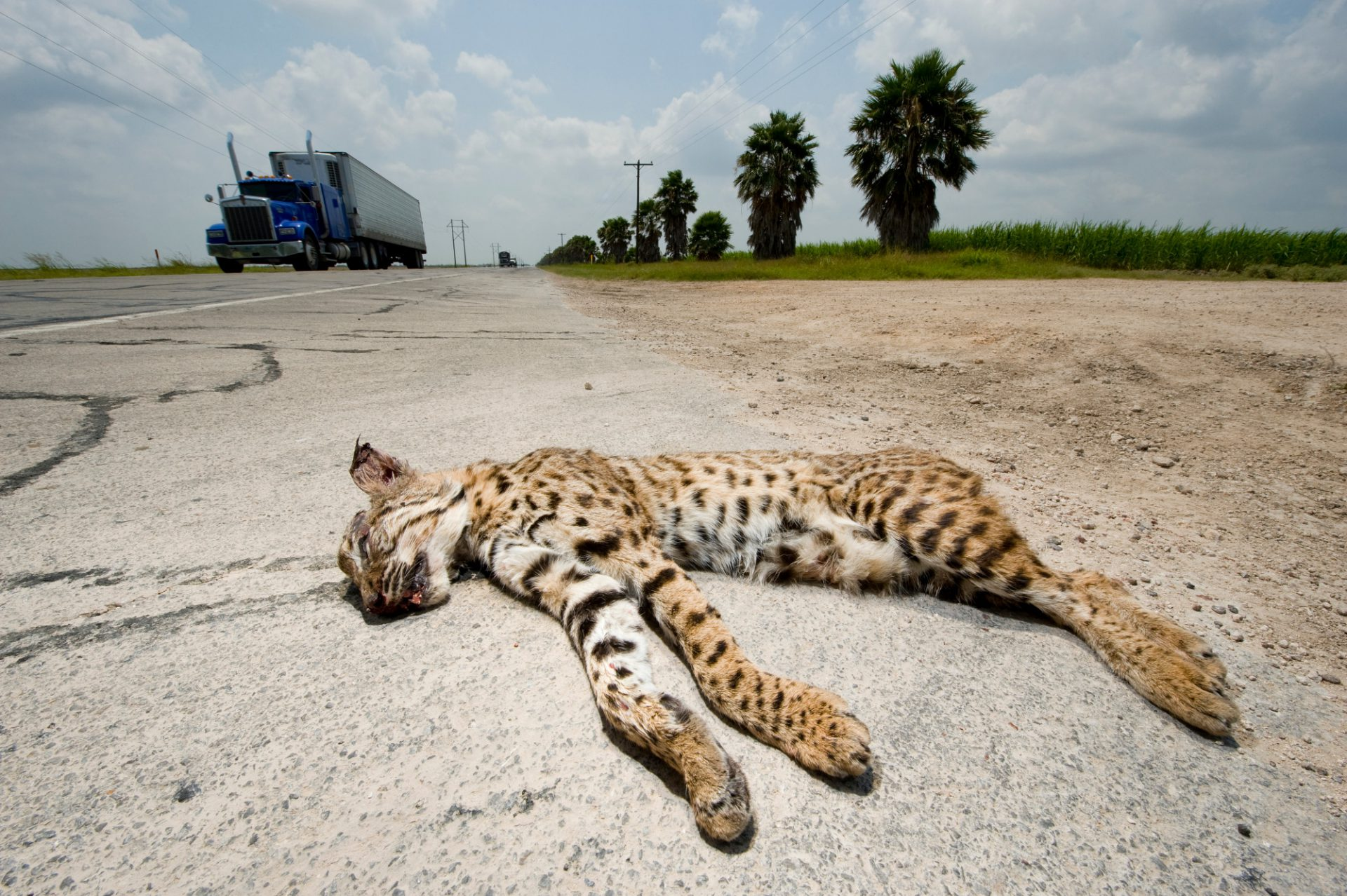 A road-killed bobcat (Lynx rufus) that has been placed along a highway near the Santa Anna NWR.