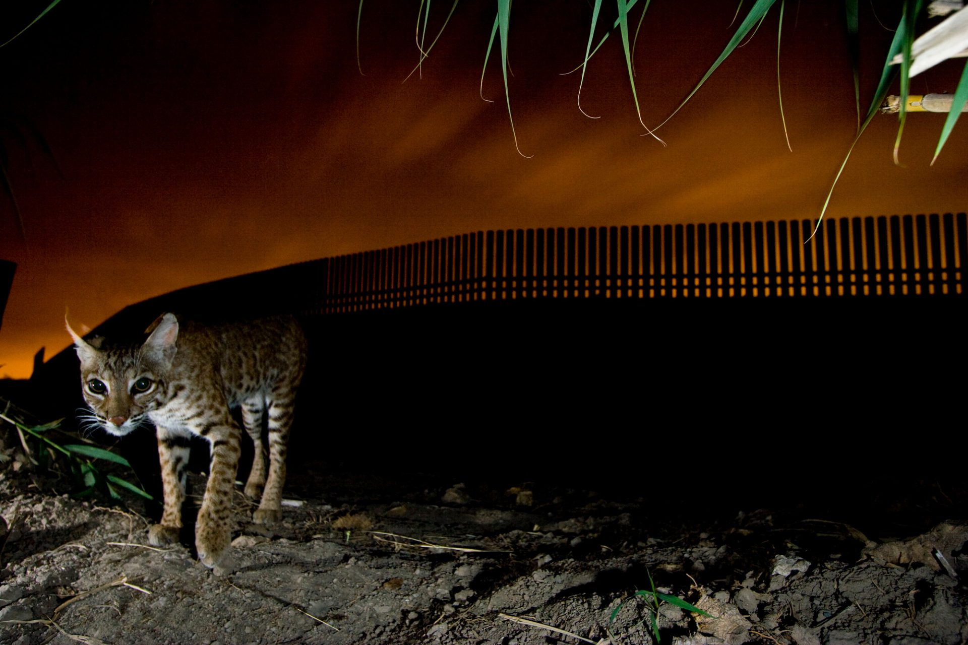 A bobcat (Lynx rufus) photographed by a camera trap along the Texas-Mexico border in Texas. Cutting in many places through the last of the habitat left along the lower Rio Grande river, the wall is a huge impediment to the movement of wildlife species that can't fly over it. Photograph by Joel Sartore with Mitch Sternberg, Jennifer Lowry, and Naghma Malik, all U.S. Fish and Wildlife Service.