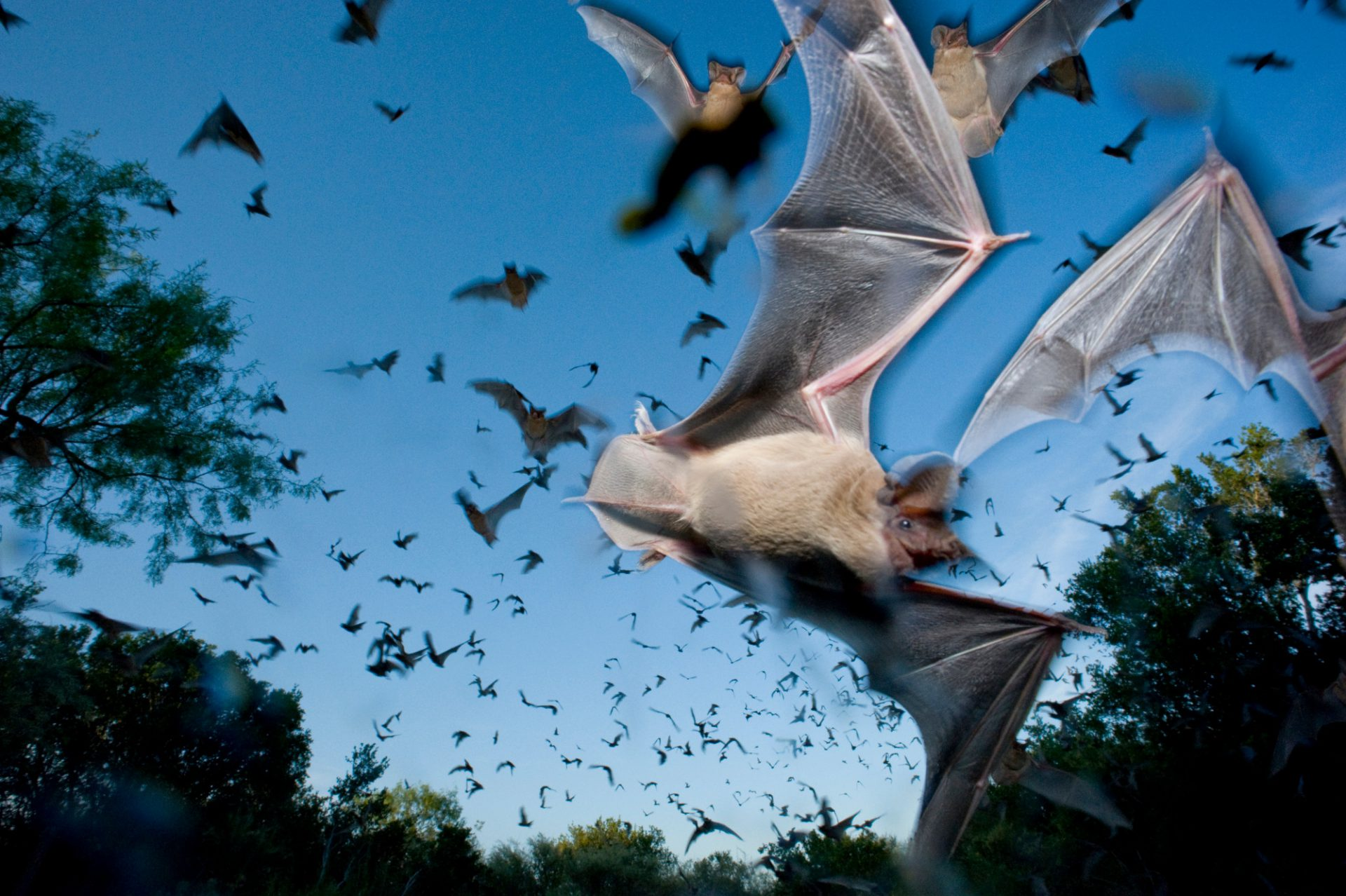 Mexican free-tailed bats (Tadarida brasiliensis) swirl out of the Eckert James River Bat Cave at sunset to feed on insects. This maternity colony builds to more than 6 million bats in late July, making it one of the largest in the world. It is owned and managed by The Nature Conservancy.