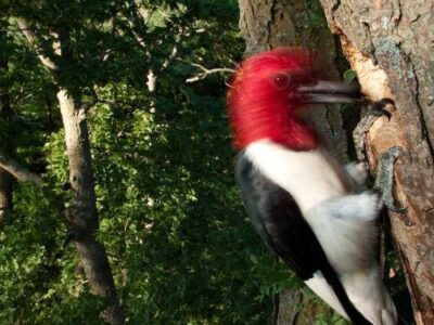 Red-headed woodpeckers (Melanerpes erythrocephalus) feed their young high in the forest canopy at Spring Creek Prairie near Denton, Nebraska.
