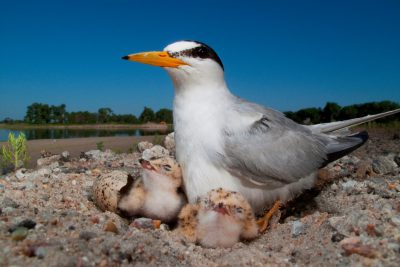 Photo: An interior least tern (Sterna antillarum), a federally endangered species, on its nest at the Western Sand and Gravel mine along the Platte River near Fremont, NE. Many mine companies are pausing work during the nesting season in areas this bird and other rare species use.