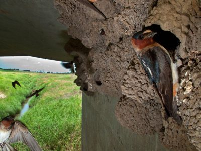 Photo: Cliff swallows (Petrochelidon pyrrhonota) flying into their mud nests under a county bridge near Raymond, Nebraska.