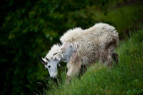 Picture of a mountain goat (Oreamnos americanus) walks along a mountain in Glacier National Park, Montana.