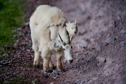Picture of a mother mountain goat (Oreamnos americanus) and her baby walk along a rocky path in Glacier National Park, Montana.