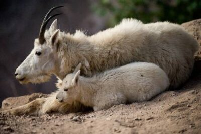 Picture of a mother mountain goat (Oreamnos americanus) and her baby rest on a rocky ledge in Glacier National Park, Montana.