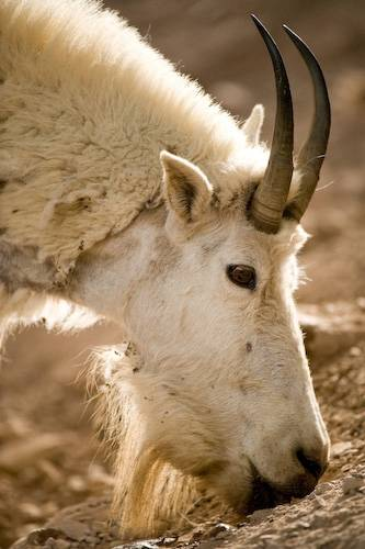 Picture of a mountain goat (Oreamnos americanus) in Glacier National Park, Montana.
