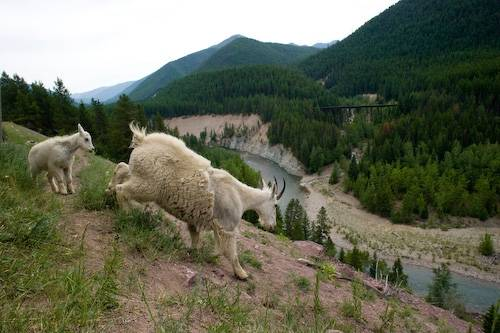 Picture of a mother mountain goat (Oreamnos americanus) and her baby walk down a rocky path in Glacier National Park, Montana.