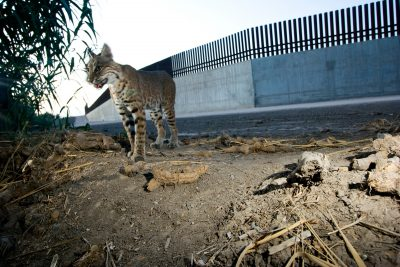 A bobcat (Lynx rufus) photographed by a camera trap along the Tex-Mex border wall.