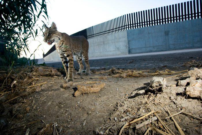 A bobcat (Lynx rufus) photographed by a camera trap along the Tex-Mex border wall.