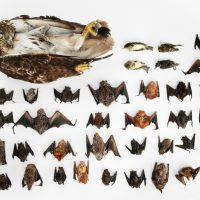 Picture of bats, songbirds and a hawk killed by a single wind turbine in a year.