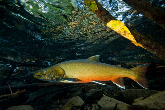 A bull trout (Salvelinus confluentus) in Bighorn Creek which is part of the Kootenay river system in British Columbia, Canada. (IUCN: Vulnerable; US: Federally threatened)