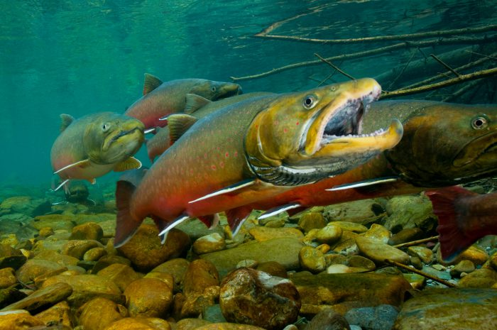 Bull trout (Salvelinus confluentus) swimming in the Bighorn Creek, in the Wigwam River drainage in British Columbia. This is one of the last, best places for spawning of the vulnerable (ICUN) and federally-threatened bull trout, and is part of the Kootenay River system, which sees an annual migration of bull trout from Lake Koocanusa, some fifty miles away. The fish prefer very cold water of 40 degrees or so in order to spawn, and the springs in this area provide that.