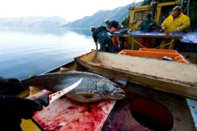 Photo: A group of fisherman cleaning lake trout (Salvelinus namaycush) at Lake Pend Oreille, Idaho.