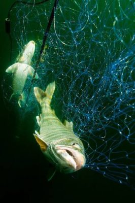 Bull trout (Salvelinus confluentus) caught in fishing nets in Lake Pend Oreille, Idaho. (IUCN: Vulnerable; US: Federally threatened)