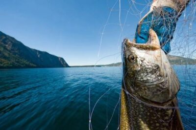 Photo: A lake trout (Salvelinus namaycush) caught in a net by fishermen in Lake Pend Oreille, Idaho.
