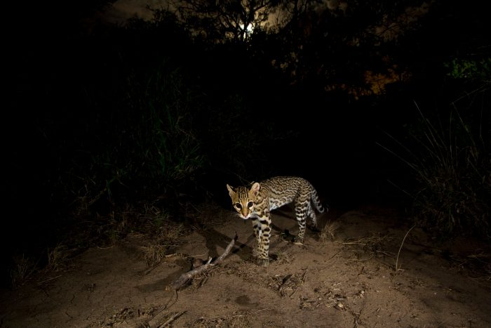 An ocelot (Leopardus pardalis) photographed with a camera trap in Laguna Atascosa National Wildlife Refuge in Texas.