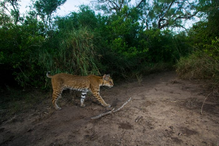 A bobcat (Lynx rufus) traverses along the Mexican-Texas border. A border wall along the lower Rio Grande in Texas divides nations as well as habitats, hindering daily essential movements of animals in the area. Bobcats would normally cross the border to find mates or catch dinner. The wall also blocks the dailly rounds of ocelots, another member of the cat family. Photograph by Joel Sartore with Mitch Sternberg, Jennifer Lowry, and Naghma Malik, all U.S. Fish and Wildlife Service.