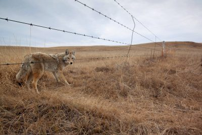 A coyote (Canis latrans) walking along a barbed wire fence near Medicine Hat, Alberta, Canada.