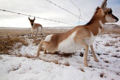 A pronghorn (Antilocapra americana) crossing under a fence near Medicine Hat, Alberta, Canada.
