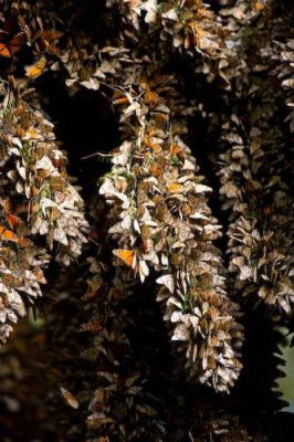 Picture of millions of monarch butterflies (Danaus plexippus) roosting on the Chincua Mountain near Angangueo, Mexico.