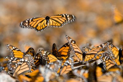 Picture of monarchs (Danaus plexippus) in the Sierra Chincua sanctuary, Mexico.
