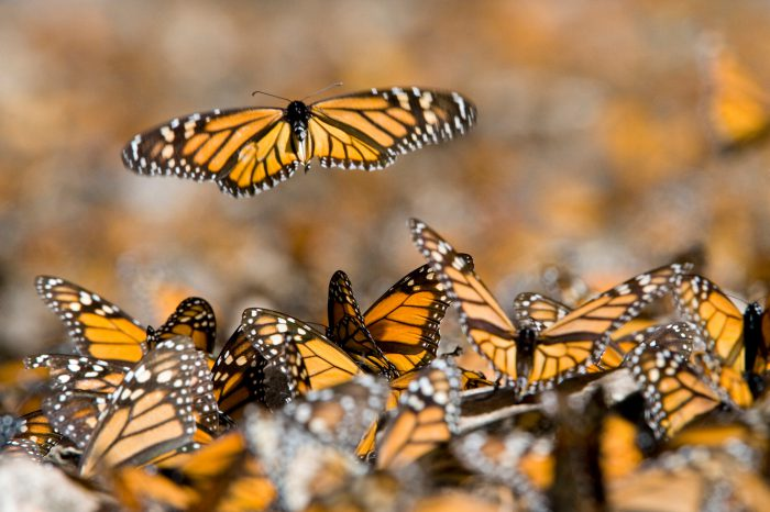 Picture of monarchs (Danaus plexippus) in the Sierra Chincua sanctuary, Mexico.