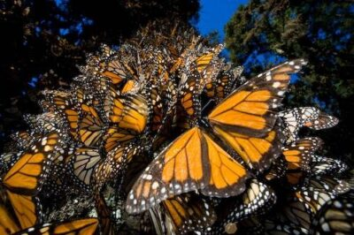 Picture of millions of monarch butterflies (Danaus plexippus) roosting on the Sierra Chincua (Chincua mountain) near Angangueo, Mexico.