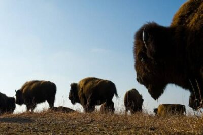 Photo: A herd of bison (Bison bison) standing on the prairie at Maxwell State Game Preserve in Canton, Kansas.