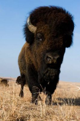 Photo: A bison (Bison bison) standing on the prairie at Maxwell State Game Preserve in Canton, Kansas.