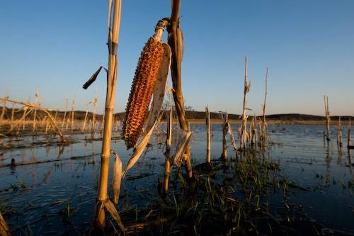 Photo: A flooded cornfield, typical habitat for amphibian breeding in vernal pools in Kansas.