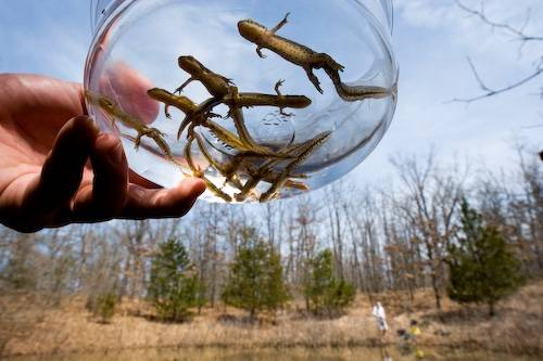 Herpetologists look for central newts (Notophthalmus viridescens louisianensis) at a vernal pool in Bennett Springs State Park near Lebanon, Missouri.