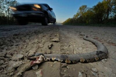 Photo: A western cottonmouth (Agkistrodon piscivorous) snake lies dead on the Clear Creek Levy Road, near Ware, Illinois.