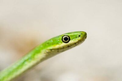 Photo: A rough green snake (Opheodrys aestivus) along Snake Road in Shawnee National forest in southwest Illinios.