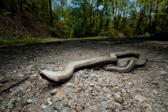 An eastern hognose snake (Heterodon platirhinos) plays dead on the Snake Road, a three-mile stretch of road in the Shawnee National Forest in southern Illinois. To prevent herp deaths, this section of road is closed in the spring and fall when snakes are migrating.
