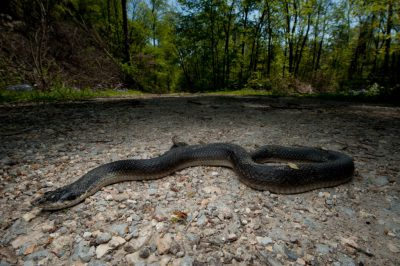 Photo: An eastern hognose snake plays dead on the Snake Road, a three-mile stretch of road in the Shawnee National Forest in southern Illinois.