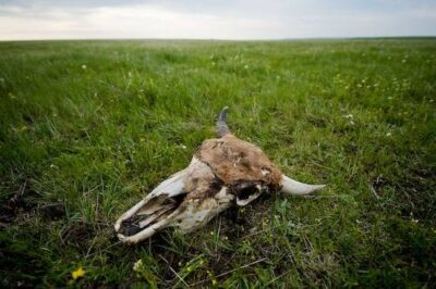 Picture of a skull of an American bison (Bison bison) on the Triple U Ranch near Ft. Pierre, South Dakota.